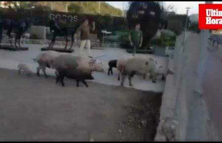 Die Schweine sorgten für Erstaunen und einige Unruhe.