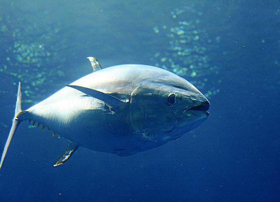 Roter Thunfisch ist ein Opfer der Überfischung.
