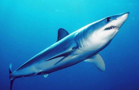 Der Makohai gehört zu den Herings- oder Makrelenhaien.
