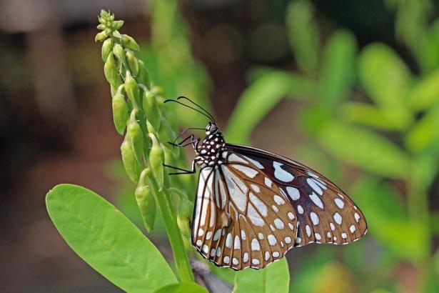 Der asiatische Schmetterling hat eine Flügelspannweite von neun bis zehn Zentimtern.