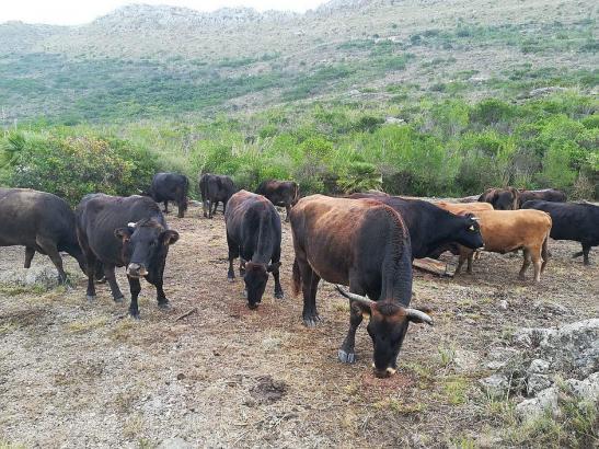 Die Kühe sollen helfen, Waldbrände zu verhindern.