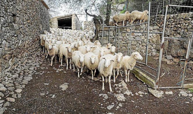 Die Schafe werden artgerecht gehalten.