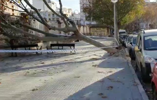 An der Stierkampfarena Plaza de Toros in Palma wurde eine hochgewachsene Platane entwurzelt.