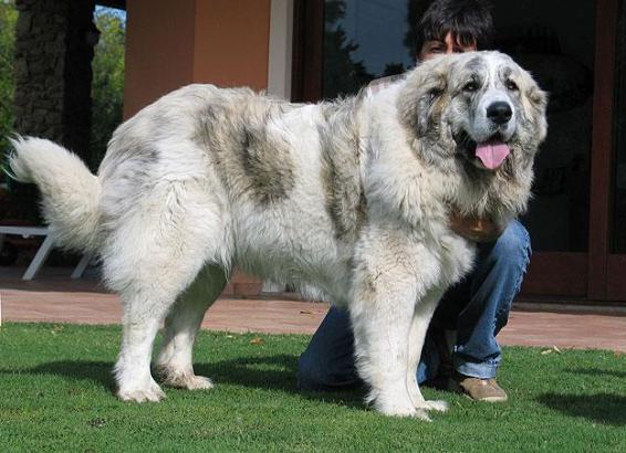 Ein Pyrenäen-Mastiff.