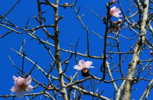Wenn die rosa Blüten vor dem blauen Himmel leuchten, dann kommt Freude auf.