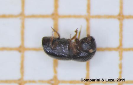 So sieht er aus, der asiatische Käfer.