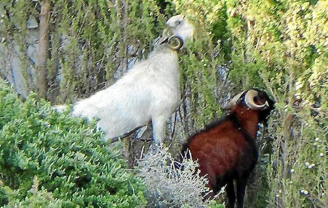 Wilde Mallorca-Ziegen beim Vertilgen von Pflanzen.