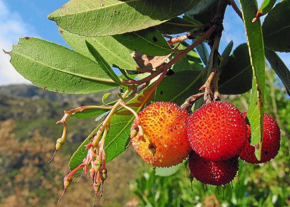 Ein Tee aus Blättern des Erdbeerbaums kurbelt die Verdauung an.