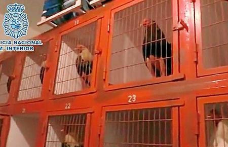 197 Menschen hatten den illegalen Hahnenkämpfen in Andalusien beigewohnt. Darunter waren auch Bewohner der Balearen.