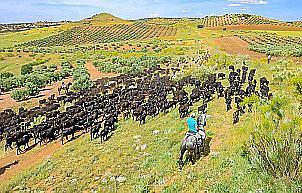 800 Rinder am Weg von Süd- nach Nordspanien. Hier in der Mancha auf einem Abschnitt der Cañadas reales - der spanischen Triftwege.