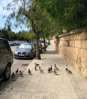 Enten machen einen Ausflug in Palma.