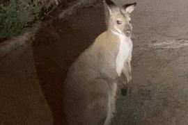 Deutscher Restaurantbetreiber entdeckt Känguru auf Mallorca