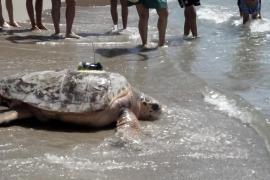 Meeresschildkröte mit Sender schwimmt Richtung Mallorca