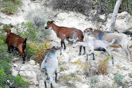 Dutzende wilder Ziegen dringen in Port d'Andratx ein