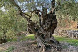 Der Methusalem der Olivenbäume steht auf Mallorca