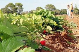 Frisch vom Bauernhof: Im Karton wird etwa in Llucmajor eine fünf Kilo schwere Gemüseauswahl angeboten.