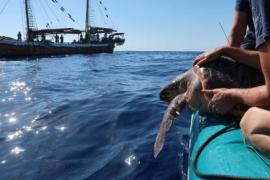 Meeresschildkröte Nummer 1000 auf Mallorca gerettet