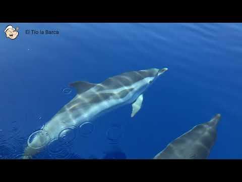 Filmer gelingen vor Mallorca spektakuläre Aufnahmen von Delfinen