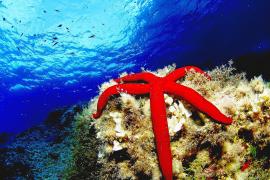 Auch Seesterne kann man vor Mallorcas Küste antreffen. Offiziell gehören sie nicht zu den gefährdeten Arten. Fotos: Archiv