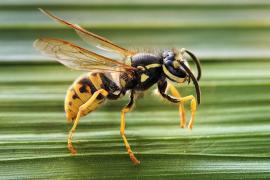 Wespe sticht Frau im Hafen von Palma in die Zunge