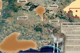 Hirsche fressen sich auf Mallorca durch Gärten und Felder