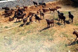 Jäger sollen wilde Ziegen auf der Finca de Galatzó mit Lassos jagen