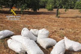 Mann soll 300 Kilo Johannisbrotbaum-Früchte auf Mallorca gestohlen haben