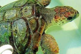 "Schildkröte ""Toni"" vollgestopft mit Plastik"