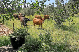 Japan meets Menorca: Auf der Finca Son Bellut grasen Wagyu-Rinder und menorquinische Kühe einträchtig nebeneinander.