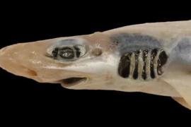 Lebender Hai ohne Zähne und ohne Haut aus dem Mittelmeer geholt