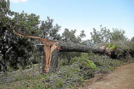 Unwetter zerstörte 736 Hektar Wald auf Mallorca