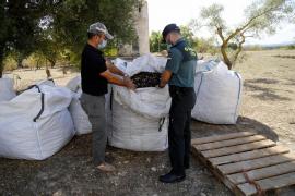 Polizei wacht über Schoten des Johannisbrotbaums