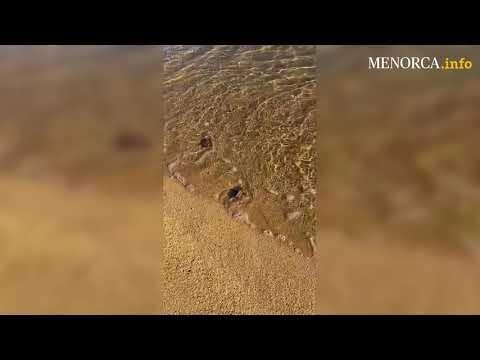 Dutzende Meeresschildkröten auf Menorca-Strand geschlüpft