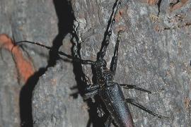 Käfer macht sich über Mallorcas Steineichen her