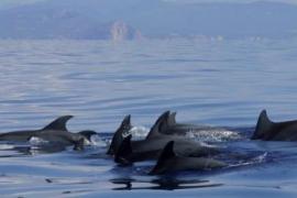 Mehrere Delfine eskortieren Llaüt fast bis in Palmas Hafen