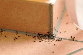 Wenn Ameisen auf Mallorca durch die Wohnungen krabbeln