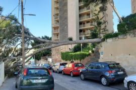 Sturmbilanz: Windböen fällen diverse Stadtbäume auf Mallorca