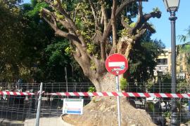 Emblematischer Baum in Palma de Mallorca gefällt