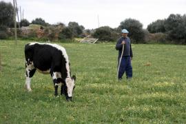 Mallorca hat eine neue autochthone Rinderrasse