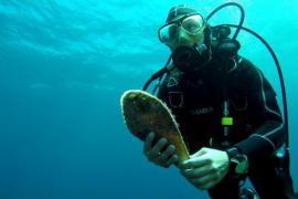 Acht sehr seltene Riesenmuscheln rund um Mallorca und Menorca entdeckt
