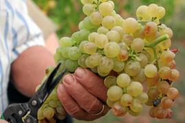 Neue Wein-Bodegas aber weniger Ertrag dieses Jahr auf Mallorca