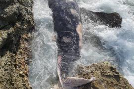 Toter Schnabelwal im Süden von Mallorca entdeckt