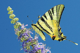 Der Segelfalter (Iphiclides podalirius) kann mehrere Minuten ohne Flügelschlag durch die Luft segeln.