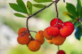 Die Faszination des Mallorca-Erdbeerbaums