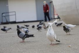 Taubenfütterer sollen in Palma de Mallorca abgestraft werden