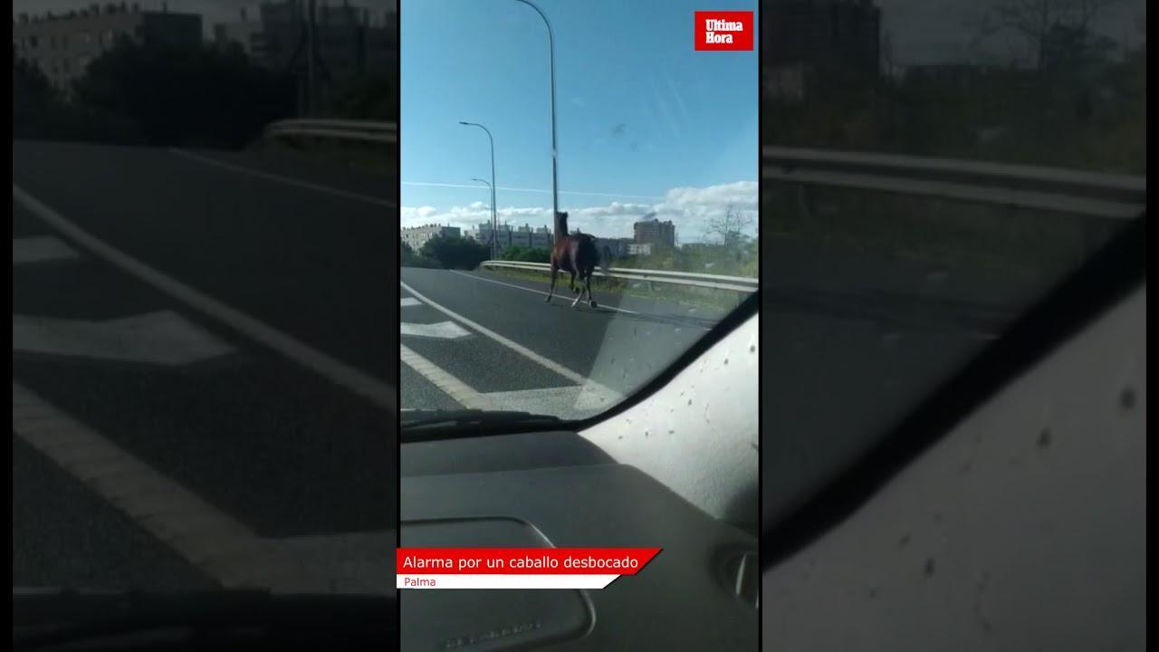 Ausgerissenes Pferd trabt über die Autobahn von Palma