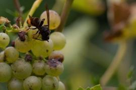Asiatische Hornissen auf Mallorca offiziell ausgerottet