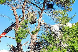 Uralte Kiefer in Arenal fällt Tankstellenbau zum Opfer