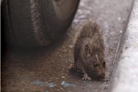 Portitxol und El Molinar von Rattenplage heimgesucht