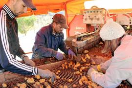 Vollzogener Brexit: Kartoffelbauern auf Mallorca in Sorge